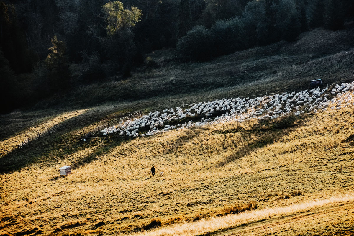 Wypas owiec pod Wysoką