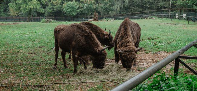 Białowieski Park Narodowy: Rezerwat Pokazowy Żubrów