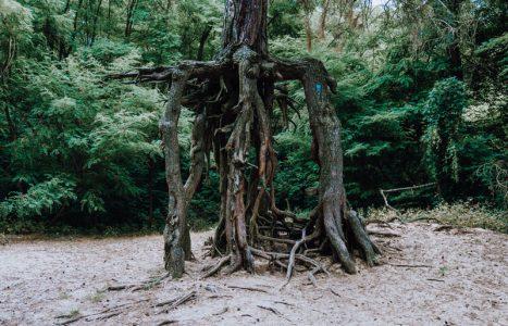Sosna na szczudłach w Wełeczu– cud natury, który trzeba zobaczyć