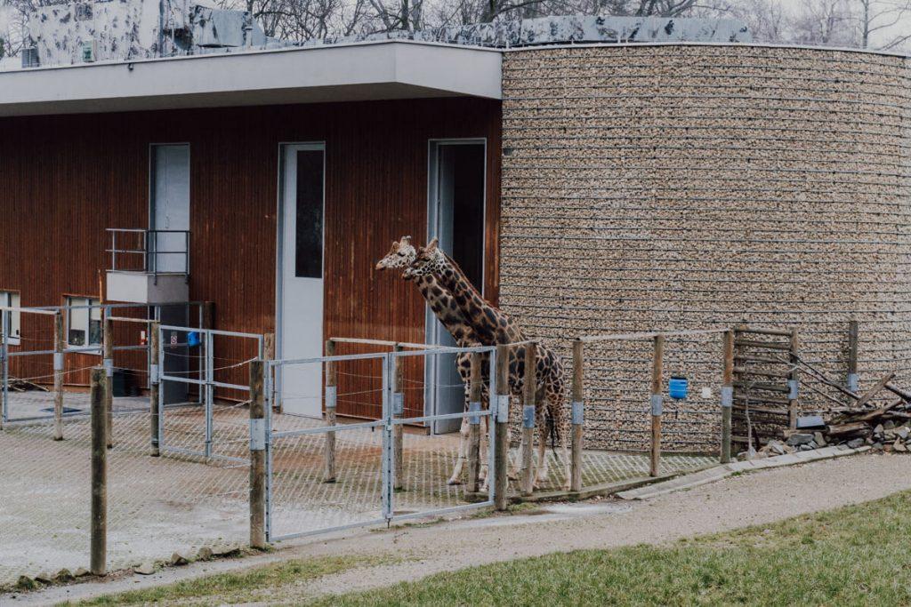 zyrafy w krakowskim zoo