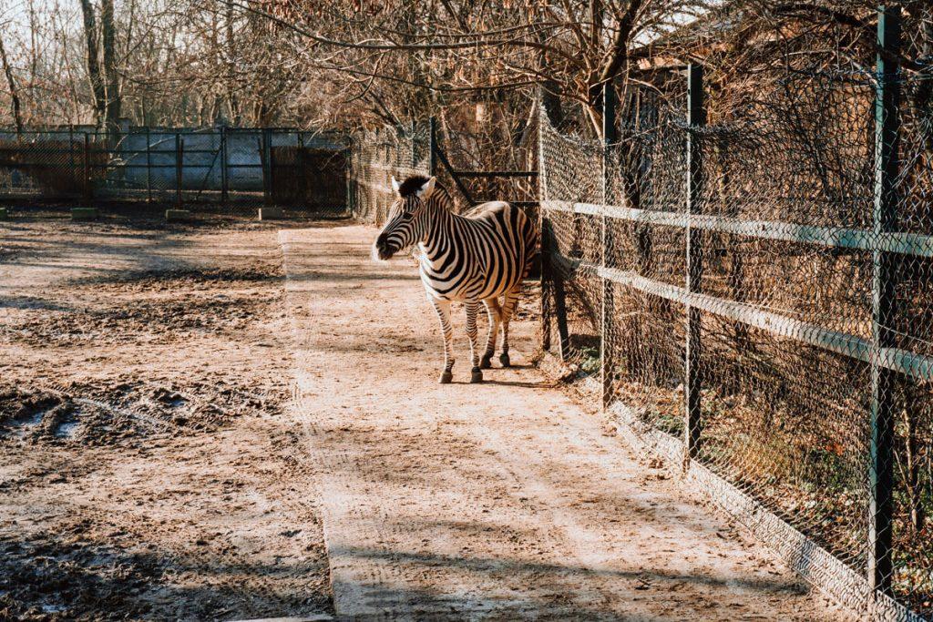 zebra lodzkie zoo