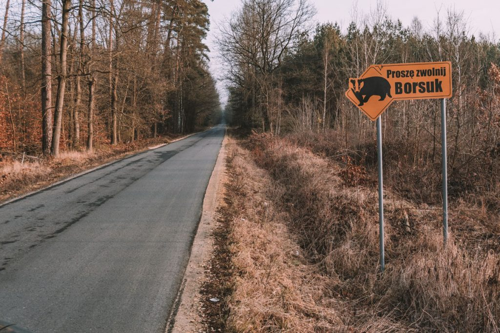 borsuk w stobrawskim parku krajobrazowym