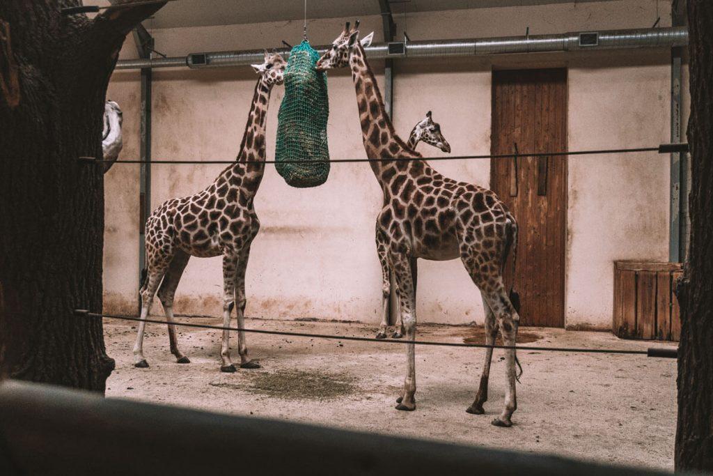 zyrafy zoo opole