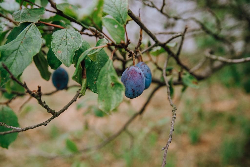 Śliwka na drzewie