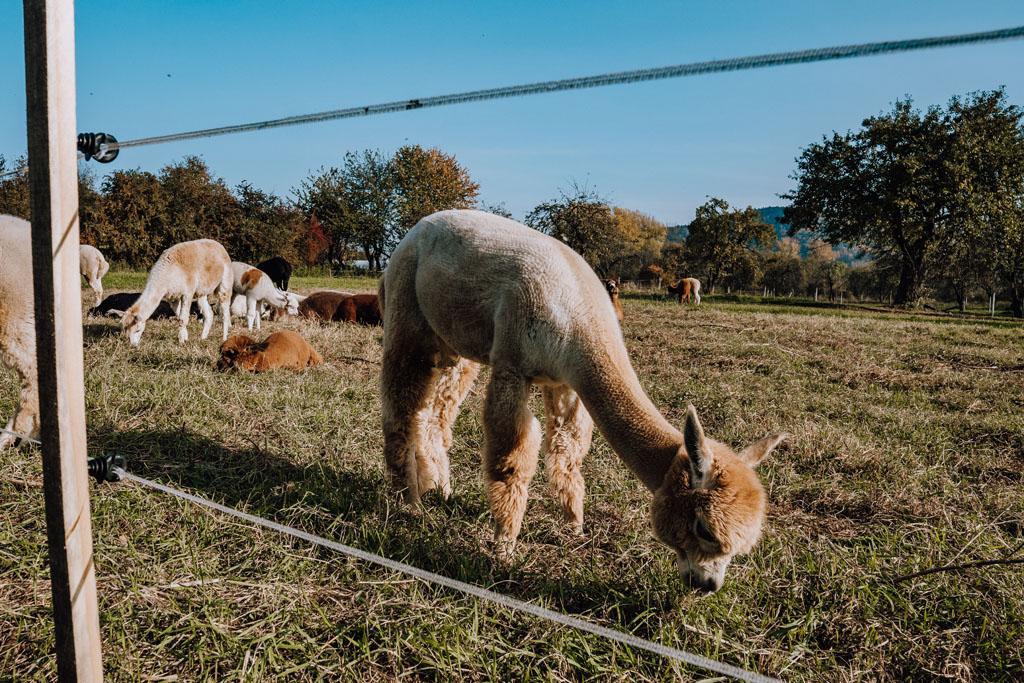 Alpaki w Jaśkowym Sadzie