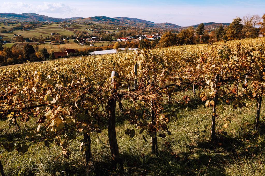 Winorośle w Winnicy Nowizny