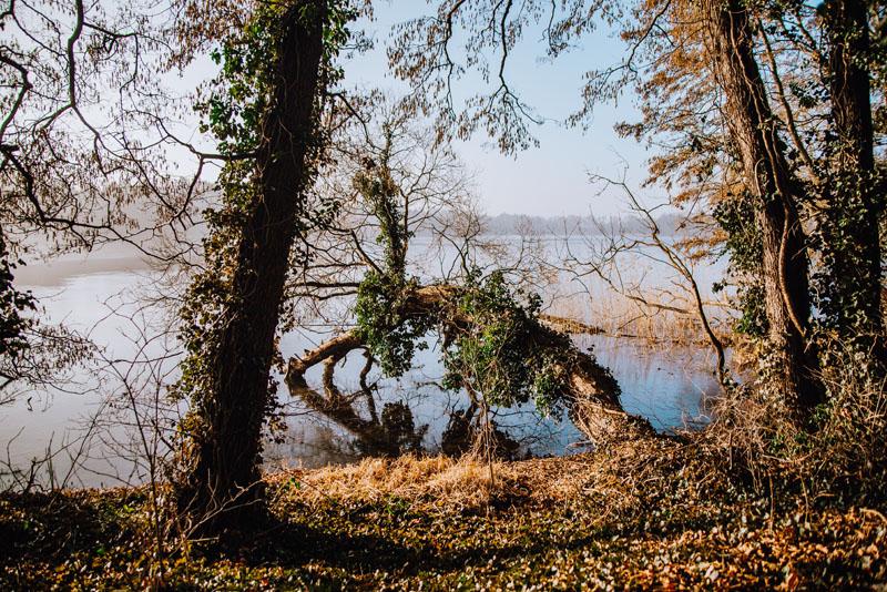 Bluszczolas na Jeziorem Morzycko