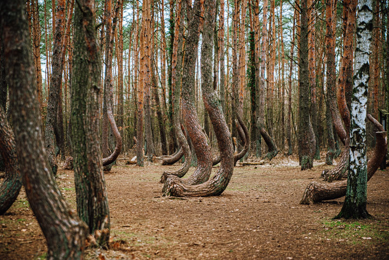 drzewa pod gryfinem