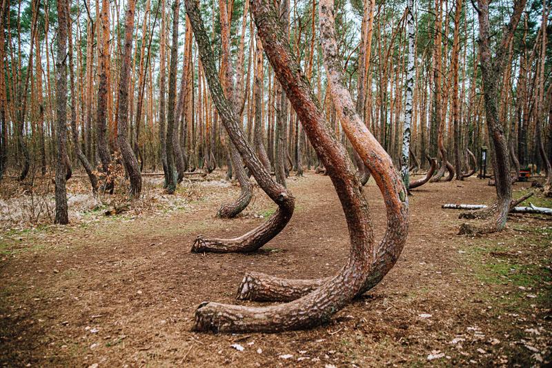 Krzywe Drzewa w Polsce