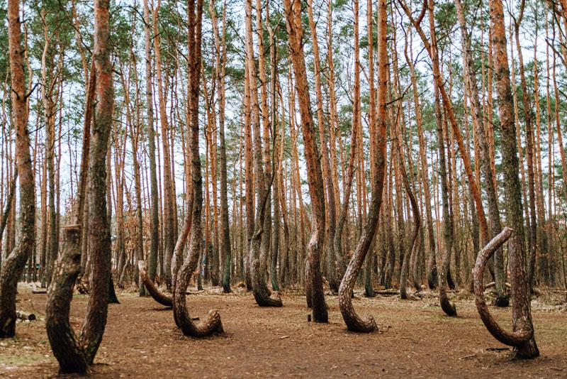 Krzywy Las Polska