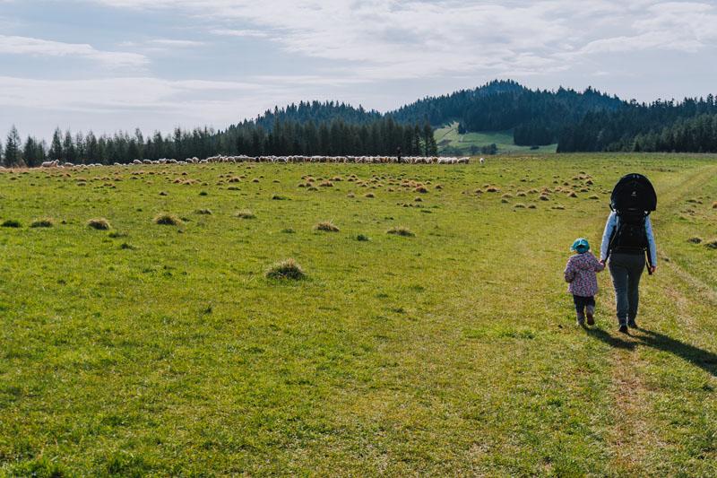 Wypas owiec na Hali Majerz
